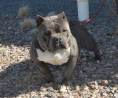 Pretty Toy Son Of Pretty Boy American Bully Micro