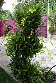 Oncidium Orchids | Mounted Oncidium Orchids for ONCIDIUM Lovers!