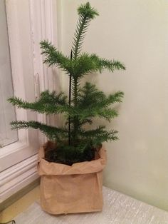 home spruce