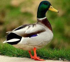 Roaming Duck!