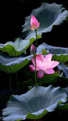 Jk The post Jk appeared first on Moja strona. Flowers Nature, Exotic Flowers, Amazing Flowers, Pretty Flowers, Lotus Flower Pictures, Flower Photos, Nymphaea Lotus, Lotus Art, Pink Lotus