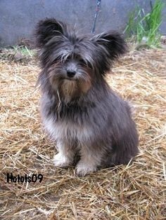 Papillon or chinese crested?