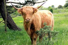Een schotse hooglander. Vorig jaar mei genomen.  A highland cattle. Taken last year in may.  Taken with: Canon EOS 60D