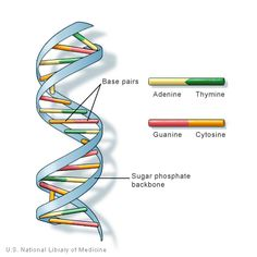 DNA is deoxyribonucleic acid. It is located in the nuclei of cells, which make up the body. Consequently, DNA can be considered as one of the building blocks of the body.