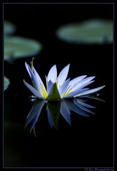 Blue water lily - blaue Seerose | Flickr - Photo Sharing!