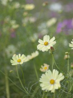 prettylittleflower:  秋桜 (by Polotaro)