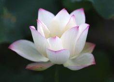 The story of a lotus flower. Discover it's spiritual, historical and beautiful history. You may find this flower bears a similar story to our own growth. Feng Shui, Spa Breaks, Flower Beds, Flower Power, Beautiful Flowers, Nature, Succulents, Pretty, Samui Thailand