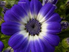 Florist's Cineraria (Pericallis Cruenta) For Partial To Full Shade