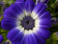 Florist's Cineraria (Pericallis Cruenta) For Partial To Full Shade