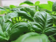 Healing Herbs: Basil This is an in-depth article on basil as a medicinal plant. Photo courtesy of Michaela Kobyakov http://www.sxc.hu/profile/michaelaw
