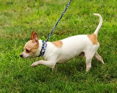 Meet Jazzy, a Petfinder adoptable Chihuahua Dog | Lambertville, NJ | JAZZY is a 3 year old Chihuahua with a shy personality.  He loves to  hide under the blankets in...