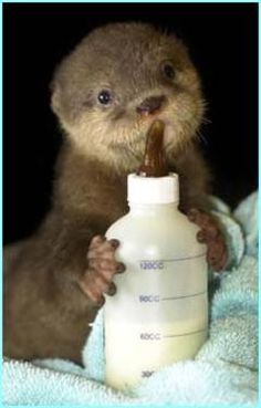 Baby Animals Drinking From Bottles i just want to squish it in a big warm hug xDi just want to squish it in a big warm hug xD Cute Funny Animals, Cute Baby Animals, Animals And Pets, Wild Animals, Especie Animal, Otter Love, Baby Otters, Tier Fotos, Cute Animal Pictures