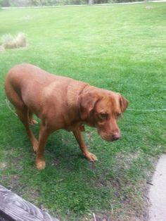 Abby my red lab outside she such a pretty girl