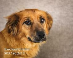 Meet Lucy-763f a Petfinder adoptable Dachshund Dog | Wolfe City, TX | ~~~~~~~~~~~~~~~~~~~~~~~~~~~~~~~~~~~~~~~~~~~~~~~~~~~~~~~The Frank Barchard Memorial Animal Shelter...