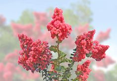 Floral Note Card. Dark Pink Crepe Myrtle Flower. Matte 5 x 7 Premium Quality White Blank Card. Perfect For A Personal Note. Vibrant Colors. by VintageArtForLiving on Etsy https://www.etsy.com/listing/526765024/floral-note-card-dark-pink-crepe-myrtle