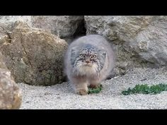 A pallas' cat inspects a camera, things go from funny to kinda creepy pretty fast... Pallas' Cat Finds a Camera Pallas cat checks out camera Wild cat inspect...