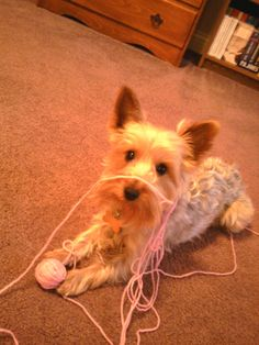 Harley The Silky Terrier Shih Tzu Mix Pets Pinterest