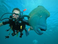 """groupers on the great barrier reef. These fish were bigger than my 6'2"""" husband"""