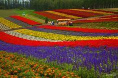 "flower farm | Flower Gardens Shikisai-no-oka"". You could visit this flower farm ..."