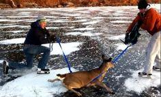 Amazing Canadian deer rescue