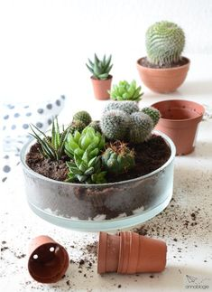 cactus with flowers Kakteen und Sukkulenten pflanzen und pflegen Succulent Gardening, Garden Terrarium, Succulent Terrarium, Cacti And Succulents, Planting Succulents, Mini Cactus Garden, Indoor Flowers, Indoor Plants, Decoration Plante