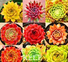 Best-Selling! Home Garden Plant 10 Seeds Rare Sempervivum Mix Succulent Seeds
