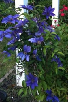 Feeding your hungry Clematis for beautiful and massive blooms....save banana peels, eggshells and tomato discards, put them in a blender with water, puree, then pour around the root areas.  Clematis should be fed supplements like this from February through September.