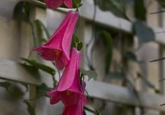 Read fascinating facts and browse beautiful, detailed photos of the Chilean bellflower (Lapageria rosea): one of thousands of plant species growing at the Eden Project in Cornwall. Eden Project, Climbing Vines, Climbers, Pretty Flowers, Tattoo Inspiration, Projects, Ideas, Art, Gardens