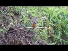 Kingfishers Leaving it's Nest