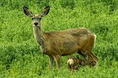 deer mother and baby - mom and baby deer Mother And Baby, Mom And Baby, Baby Deer, Rocky Mountains, Kangaroo, Wildlife, Animals, Baby Bjorn, Animales