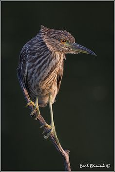 Black-crowned Night Heron (Nycticorax nycticorax ) juvenile