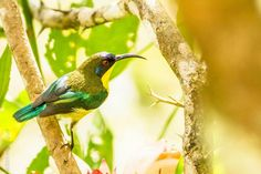 Those shining wings, olive-black head, and a sharp upside down crescent beak signify that this is a Metallic Winged Sunbird. They fly from flower to flower looking for nectar to feed on. It can only be found in the Philippines and no where else in the world. Photo by Kdon Galay. Explore with us and become a member! http://www.haribon.org.ph/index.php/working-with-people/membership