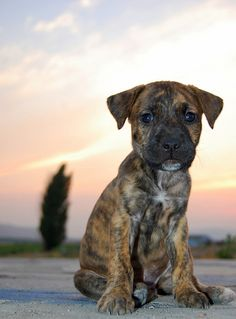 Oscar my Labrador, Boxer, and Bloodhound mix brindle dog