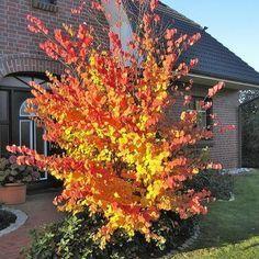 Lebkuchenbaum - Cercidiphyllum japonicum günstig online kaufen