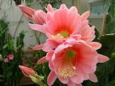 Epiphyllum/Orchid Cactus