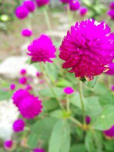Violet or Pink