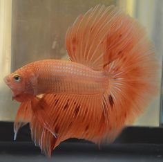 live betta fish- IMPORTED AWESOME MALE HALFMOON - ORANGE DOT