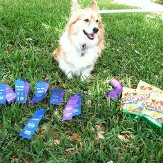 Kaley Corgi, queen of NADAC and Fat Free dog treats