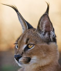 "The dessert lynx. A caracal's name is derived from the Turkish word ""karakulak,"" meaning ""black ear."""