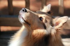 The Sheltie Perspective - Sheltie Nation