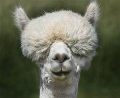 Llamas With Afros I luv llamas on Pinter...