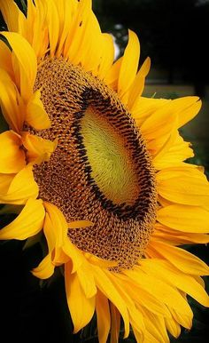 If you are new to Pinterest or even have been here a while and need to get organized, check out Marianne's boards!!! SHE IS SUPER ORGANIZED!!!! Sunflowers And Daisies, Yellow Flowers, Sun Flowers, Color Yellow, Yellow Black, Wildflowers, Happy Flowers, Pretty Flowers, Amazing Gardens