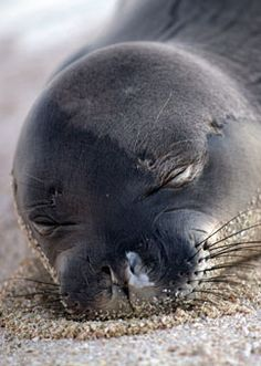 Kūlia is a female Hawaiian monk seal pup that was rescued at Pearl and Hermes Reef in the Northwestern Hawaiian Islands. © Jon Brack, NMFS Permit 16632-00 and 932-1905-01MA-009526-1 / Marine Mammal Center