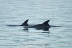 A pair of dolphin fins in the Intercoastal Waterway of Florida
