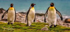 and ... iam walking :-) i just love to watch the King Penguins !