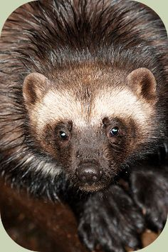 Learning to know what makes good wolverine habitat can help you increase your odds of seeing this elusive member of the weasel family. Wolverine Images, Wolverine Animal, Large Animals, Animals And Pets, Cute Animals, Wild Animals, North American Animals, Different Types Of Animals, African Wild Dog