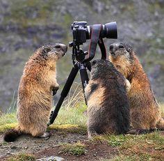 Amiguinhas marmotas também se aproximam para ver o objeto