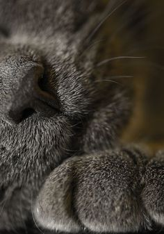 Gray cat ~ close up