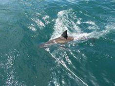 zondag 11 augustus. De Witte Haai bij Gansbaai