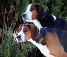 Hamiltonstovare Dog   Dog & Puppy Site